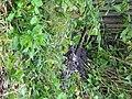 Невская Дубровка август 2011 года. Нечистоты из канализации на улице Набережная. - panoramio.jpg