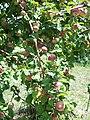 Плодоносный ветка яблони сорта Бархатное.jpg