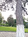 Сосни Монастирські сосни, м. Чортків, вул. Монастирська,1.jpg