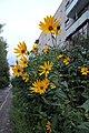 Цветы у дома - panoramio.jpg
