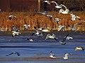 Чайки на Святошинському озері. IMG 5851.jpg
