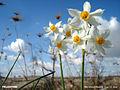 النرجس Narcissus.jpg