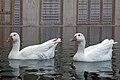 غاز -Geese 07.jpg
