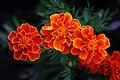 ดาวเรืองฝรั่งเศส ( French Marigolds ) (5).jpg