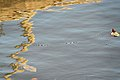 ปลาในแม่น้ำ.jpg