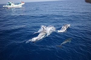 Long-beaked common dolphin - Delphinus capensis with whale watching vessels off Kochi, Japan