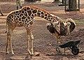 キリンと鳥類 ねこ車 (7416746668).jpg
