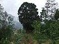 万源.庙垭-街到曹二石窖场部.必过尖山村这棵大树 - panoramio.jpg