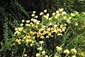 三角栲 Acacia cultriformis -澳洲塔斯曼尼亞 Derwent Valley, Tasmania- (11084178935).jpg