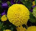 乒乓菊 Chrysanthemum morifolium Pompon Form -香港花展 Hong Kong Flower Show- (9255246866).jpg