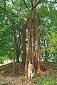 华南植物园,高山榕奇观 - panoramio.jpg