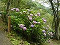 吉野山にて 七曲りのあじさい Hydrangea in Yoshinoyama 2011.7.02 - panoramio (5).jpg