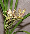 寒蘭奇花 Cymbidium kanran 'Odd' -香港沙田國蘭展 Shatin Orchid Show, Hong Kong- (12304547516).jpg