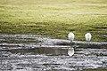 小白鷺 (25077424350).jpg
