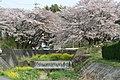 市之倉川の桜 - panoramio.jpg