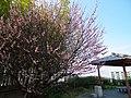御茶屋御殿跡の梅の花 2014.3.24 - panoramio.jpg