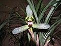 春蘭宜春仙 Cymbidium goeringii 'Favouring-Spring Narcissus' -香港沙田國蘭展 Shatin Orchid Show, Hong Kong- (12317109204).jpg
