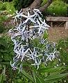 柳葉水甘草 Amsonia tabernaemontana -維也納高山植物園 Belvedere Alpine Garden, Vienna- (28975772930).jpg