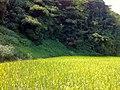 氷見の海岸道路沿いの田んぼ(Rice field along the shore road of Himi) - panoramio (3).jpg
