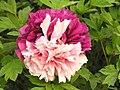 牡丹-二喬 Paeonia suffruticosa 'Two Beauties' -洛陽牡丹公園 Luoyang, China (12427945373).jpg