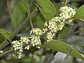 細花冬青 Ilex graciliflora -香港城門郊野公園 Shing Mun Country Park, Hong Kong- (9240229636).jpg