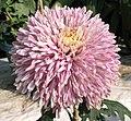 菊花-粉羽 Chrysanthemum morifolium 'Pink Feather' -香港圓玄學院 Hong Kong Yuen Yuen Institute- (12026333615).jpg