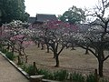 道明寺天満宮 梅園 Dōmyōji-temmangū 2011.2.27 - panoramio (2).jpg