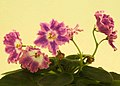 非洲紫羅蘭 Saintpaulia DS-Pinka -香港花展 Hong Kong Flower Show- (41024895551).jpg