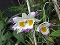 齒瓣石斛 Dendrobium devonianum -新加坡濱海灣花園 Gardens by the Bay, Singapore- (24349013274).jpg