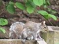-2019-03-23 Grey squirrel (Sciurus carolinensis), Trimingham, Norfolk (2).JPG