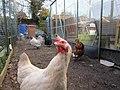 -2021-01-31 Chickens, Trimingham, Norfolk (2).JPG
