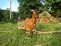 09409jfCattle goats grasslands Roads San Miguel, Bulacanfvf 11.jpg