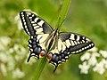14153995969-swallowtail-papilio-machaon.jpg