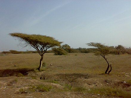 Acacia trees growing in desert suburbs near Fujairah 1501200713074 Acacia tortilis.jpg