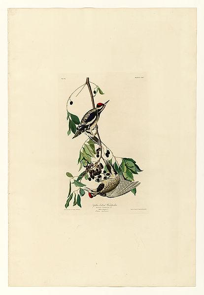 File:190 Yellow bellied Woodpecker.jpg