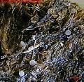 2007-02-06 Thecotheus holmskioldii (E.C. Hansen) Eckblad 46531.jpg