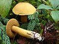2008-09-02 Suillus tomentosus 41689.jpg