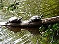 20120703 Schildpadden3 bij het Zwanemeer.jpg