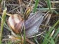 20120827 - Helix pomatia 4.jpg
