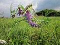 20120901Vicia cracca - Achillea millefolium.jpg