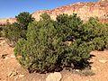 2013-09-23 14 42 51 Juniperus osteosperma and Pinus edulis along Capitol Reef Scenic Drive 5.1 miles from Utah State Route 24.JPG