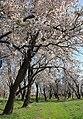 2013 Spring blossoms of Shahr-e Kord 08.jpg