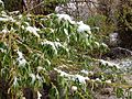 2014-05-06 09 41 06 Snow on a Willow in Lamoille, Nevada.JPG