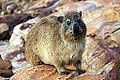 2014-12-02 06h43 Dassie in Mossel Bay South Africa.1 anagoria.JPG