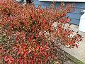 2014-12-20 13 18 03 Leaf coloration of Azalea cultivar 'Rosebud' during early winter along Terrace Boulevard in Ewing, New Jersey.JPG