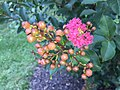 2015-06-30 17 34 08 Crape Myrtle beginning to bloom along Tranquility Court in the Franklin Farm section of Oak Hill, Virginia.jpg