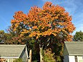 2015-10-21 16 48 28 Red Maple during autumn along Terrace Boulevard in Ewing, New Jersey.jpg