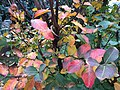 2015-11-07 15 43 39 Autumn foliage on a Crape Myrtle along Tranquility Court in the Franklin Farm section of Oak Hill, Fairfax County, Virginia.jpg