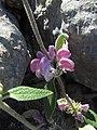 2017-04-06 Purple Jerusalem sage (Phlomis purpurea), Malhão, Albufeira (1).JPG