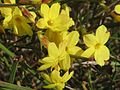 20170224Jasminum nudiflorum3.jpg